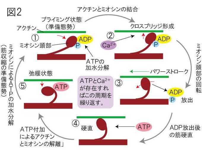 筋収縮のメカニズム アクチンフィラメント ミオシンヘッド(頭部) ATP カルシウム 滑り