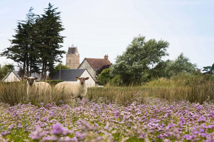 Schafe in Havre von Saint-Germain-sur-Ay, Urlaub mit Hund in der Normandie