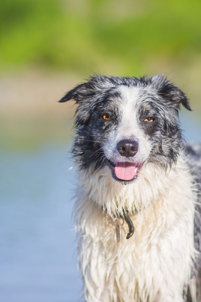 Hund im Wasser, Hund am Strand, Normandie, Urlaub mit Hund, Grünalgen