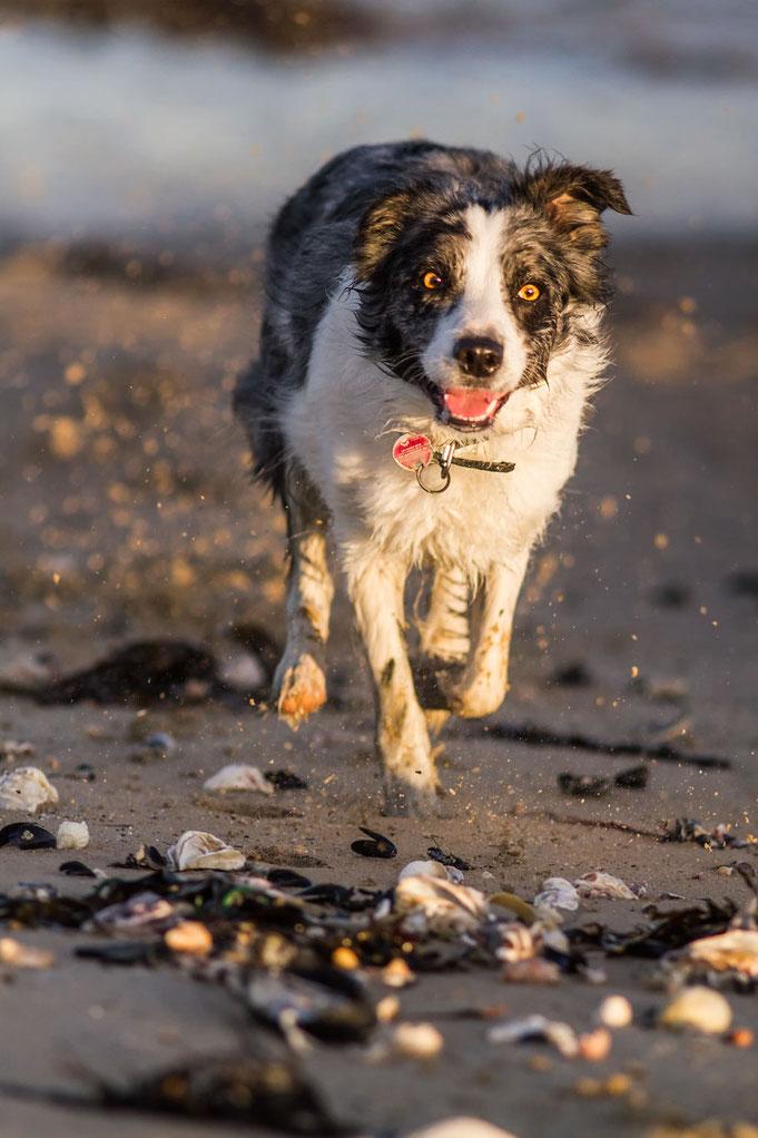 Hund, Strand, Normandie, Urlaub mit Hund