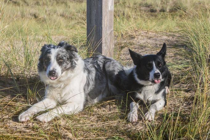 Zwei Border Collies in den Dünen von Hatainville, Cotentin, Manche.