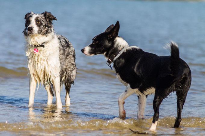Hund im Wasser, Hund am Strand, Normandie, Urlaub mit Hund