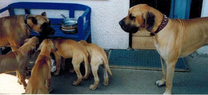 Doggenwelpen, gelbe Doggen