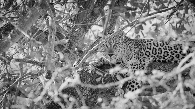 leopard | krüger nationalpark | südafrika