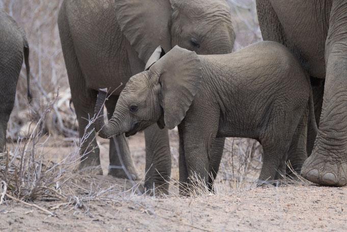 elefanten | südafrika krüger nationalpark