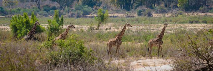 giraffen | krüger nationalpark | südafrika