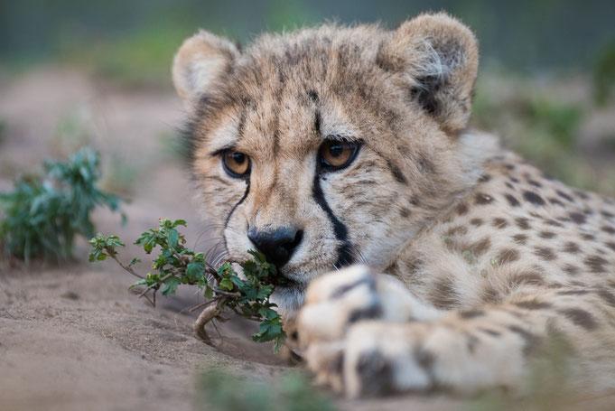 gepard | cats of emdoneni | südafrika