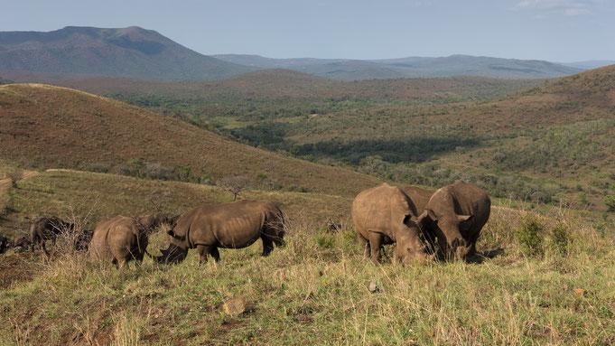 breitmaulnashörner | hluhluwe national park | südafrika