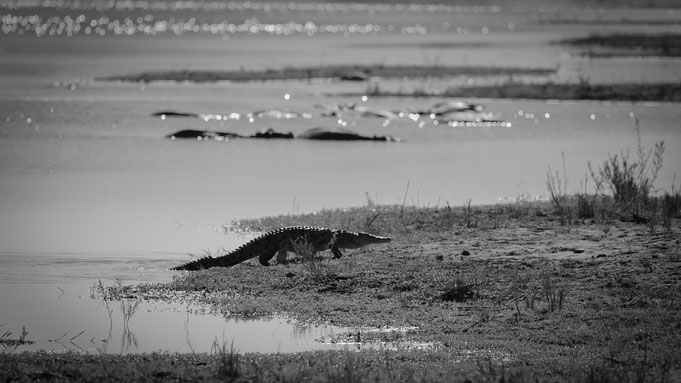 krokodil | krüger nationalpark | südafrika