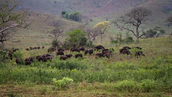 büffelherde | hluhluwe national park | südafrika