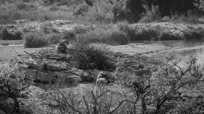 löwen | krüger nationalpark | südafrika