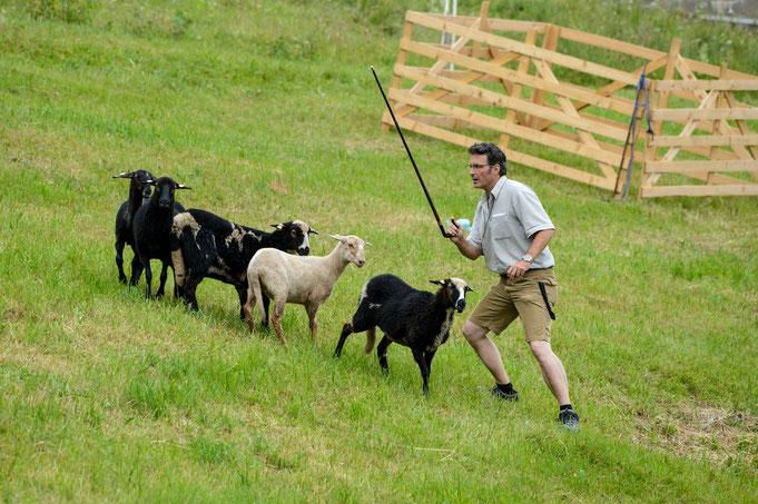 Der Schäfer versucht die Herde zu teilen