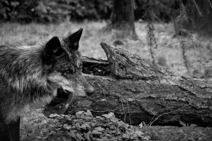 Andrea - Foto 13 - Der einsame Wolf