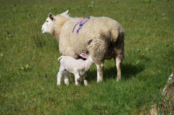 Schurwolle, Schaf, Lamm, Irland