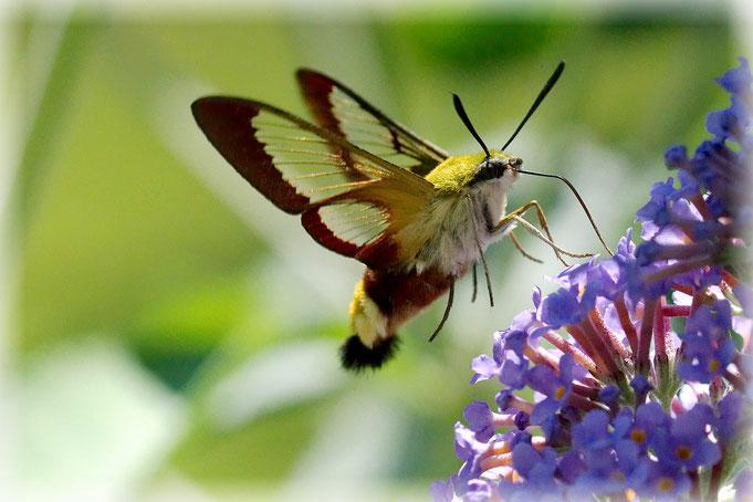 Hummelschwärmer, Kolibri, schnell, schwer zu fotografieren