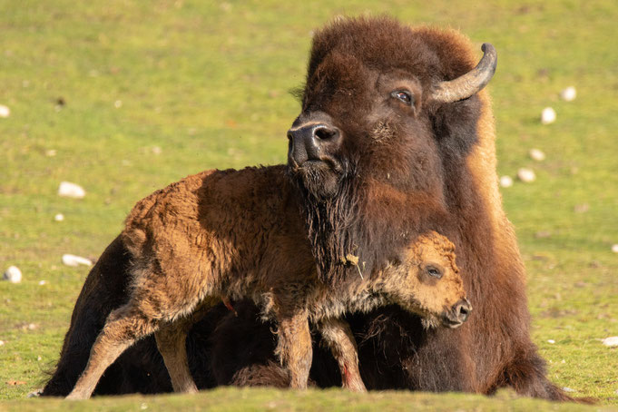 Peter Adam, Makro, pa-foto, Natur, Fotografie, Photographie, Photokunst, Fotokunst, Tier, Tierfotografie, Bison, Wisent, Kalb, neugeboren