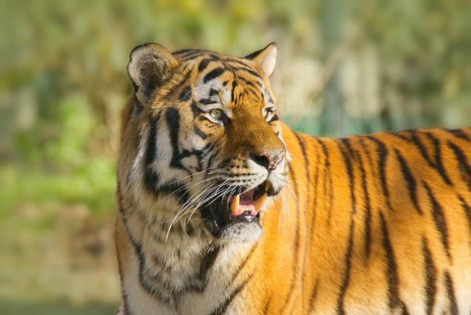 Peter Adam, Makro, pa-foto, Natur, Fotografie, Photographie, Photokunst, Fotokunst, Tier, Tierfotografie, Tiger, Jegor, Hellabrunn