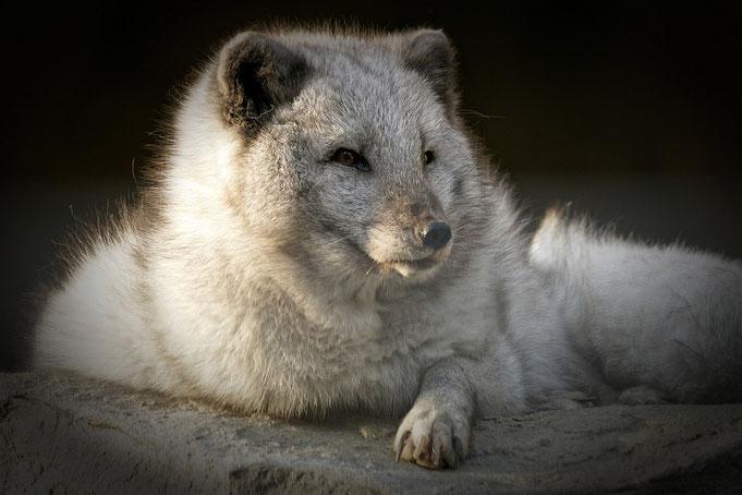 Peter Adam, Makro, pa-foto, Natur, Fotografie, Photographie, Photokunst, Fotokunst, Tier, Tierfotografie, Fuchs, Polarfuchs