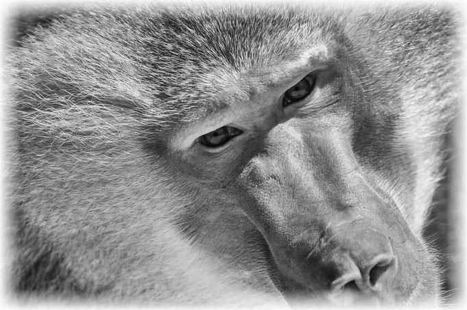 Peter Adam, Makro, pa-foto, Natur, Fotografie, Photographie, Photokunst, Fotokunst, Tier, Tierfotografie, Pavian