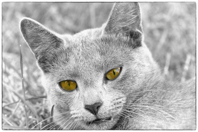 Leox, ein junger Kater - nur die Augen in Farbe