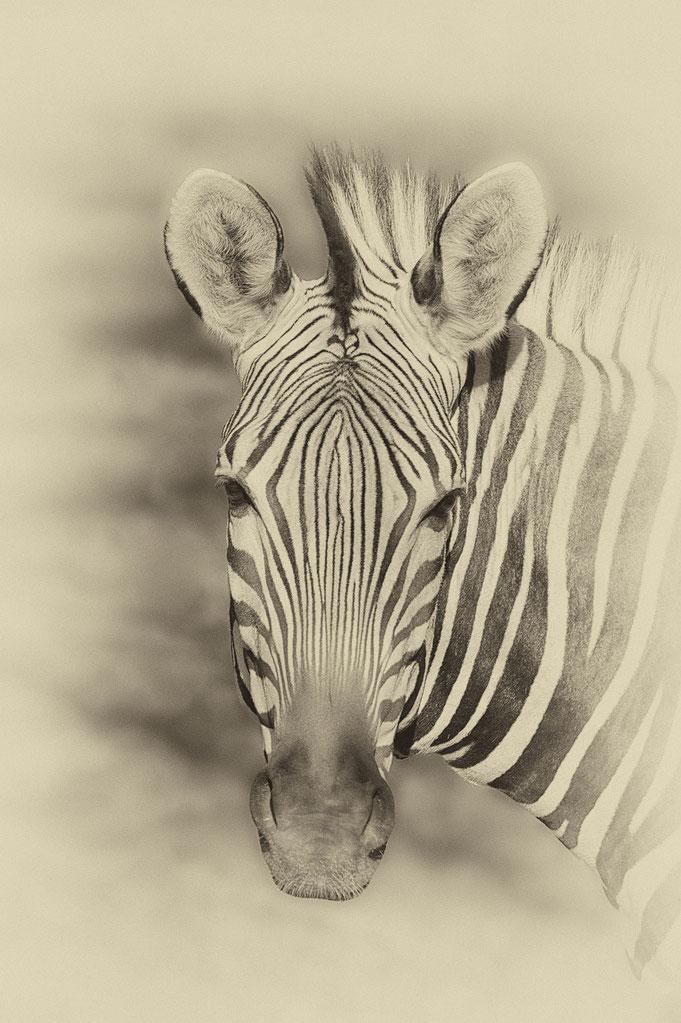 Peter Adam, Makro, pa-foto, Natur, Fotografie, Photographie, Photokunst, Fotokunst, Tier, Tierfotografie, Zebra