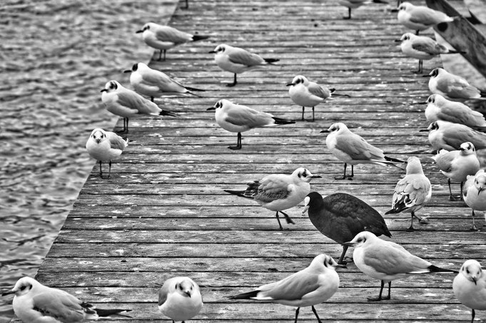 Blässhunhn, Möwen, Fremd, Allein, Tierfotografie, Peter Adam, Makro, pa-foto, Natur, Fotografie, Photographie, Photokunst, Fotokunst