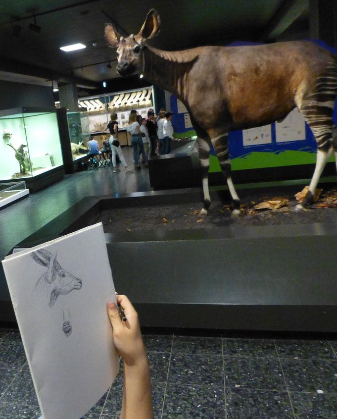 Zeichnung und Modell: Das Okapi steht geduldig Modell