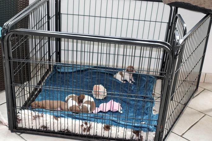 Chiots Chihuahua en parc