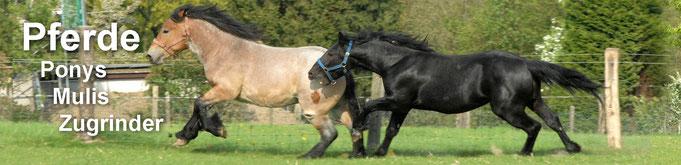 Kleinanzeigen Starke Pferde