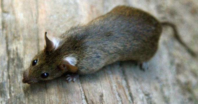 Bild von Ratte für Rattenklappe