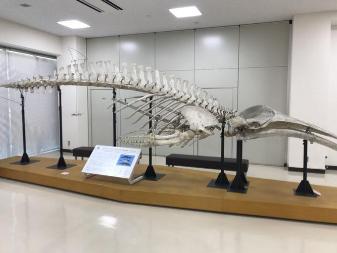 【ドワーフミンククジラの全身骨格標本】