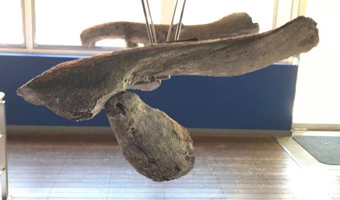【セミクジラの骨盤痕跡 頭⇔尾】