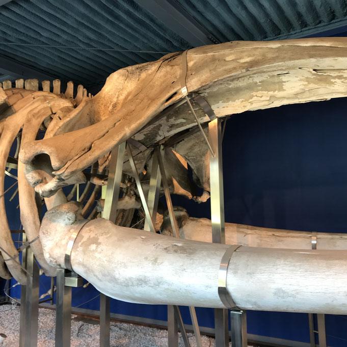 【セミクジラの頭骨】