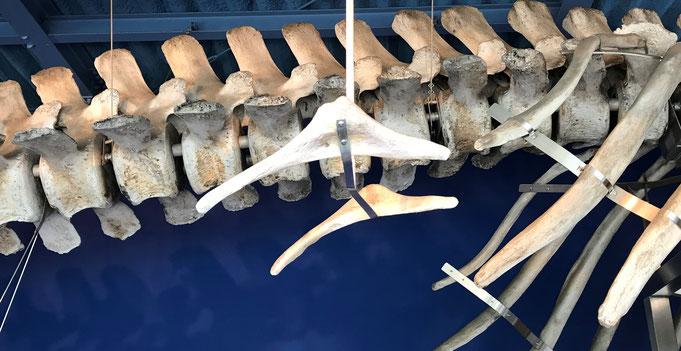 【コククジラの骨盤痕跡 頭⇔尾】