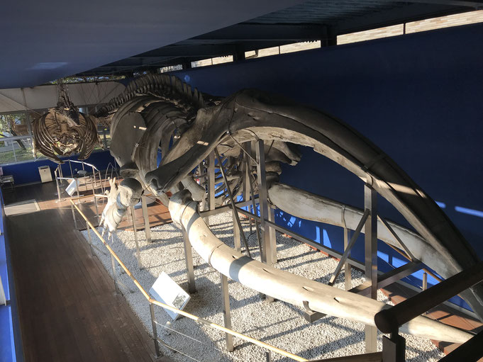 【完全な骨格標本としては世界最大級のセミクジラの全身骨格標本 頭側から撮影】