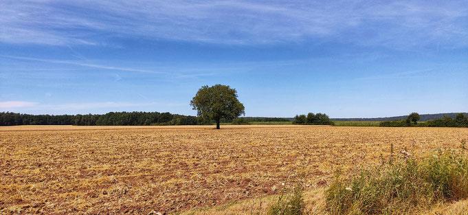einsamer Baum im Getreidefeld mit blauem Himmel