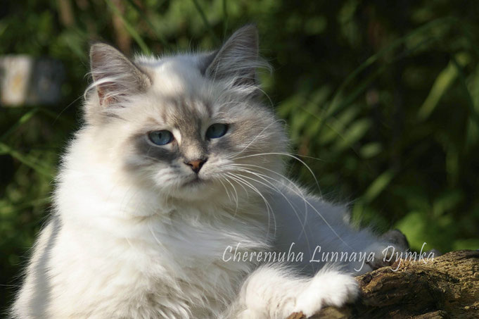 невские маскарадные, сибирские, котята, питомник Лунная Дымка, купить котенка