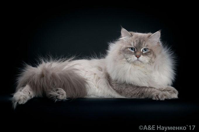 Фреш Лунная Дымка, невский маскарадный кот, питомник