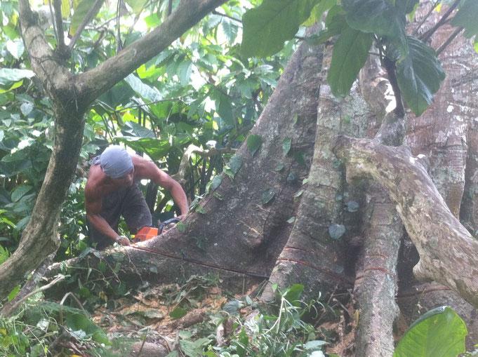 Ein Mann sägt einen grossen Baum