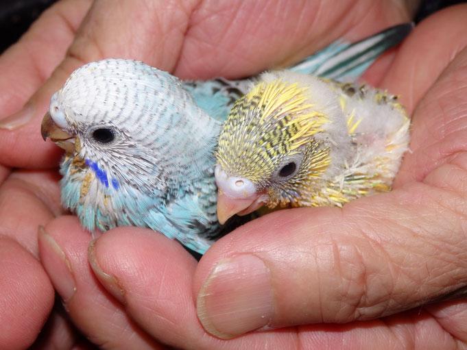 りインコ小鳥販売店ペットミッキン 手乗りセキセイインコのヒナが仲間入りしました。