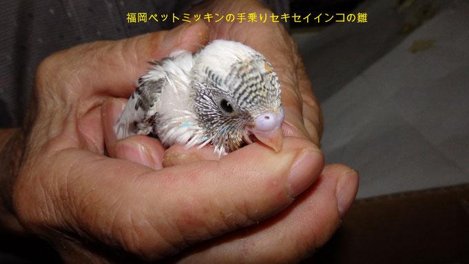 福岡県手乗りインコ小鳥販売店ペットミッキン 手乗りオカメインコのヒナが仲間入りしました。