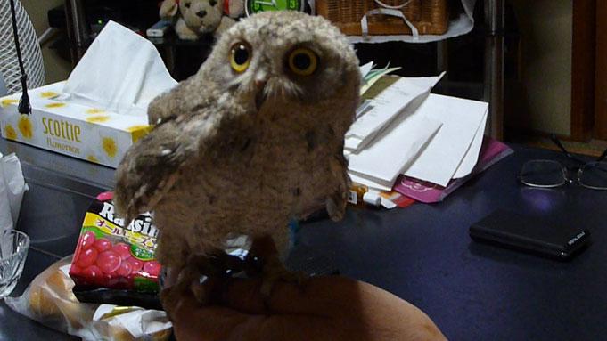 福岡県手乗りインコ小鳥販売店ペットショップミッキンのフクロウ