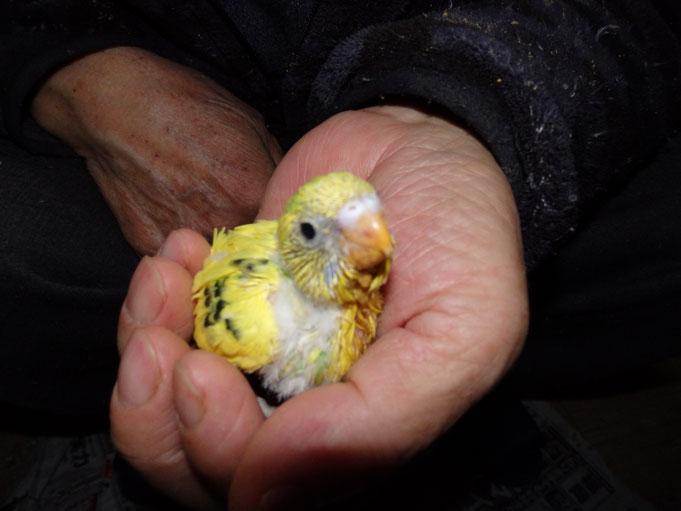 福岡県手乗りインコ小鳥販売店ペットミッキン 手乗りセキセイインコのヒナが仲間入りしました。