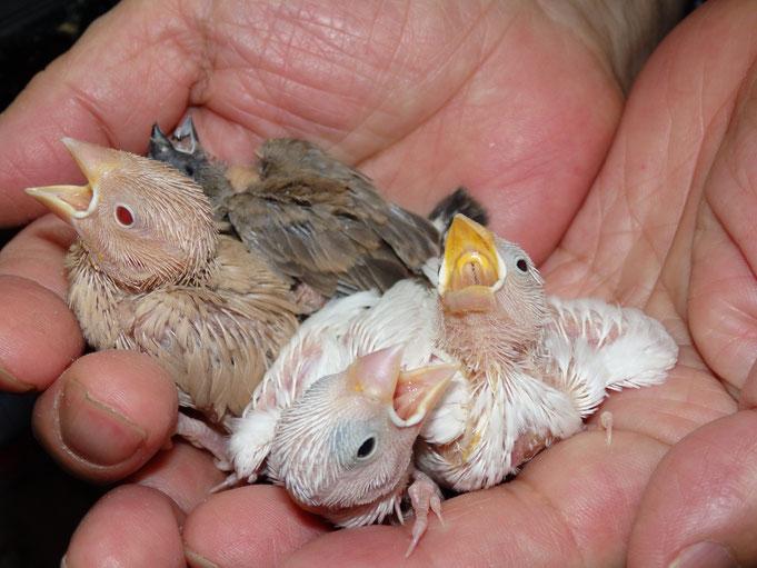 手乗り文鳥のヒナと手乗りキンカチョウのヒナが仲間入りしました。