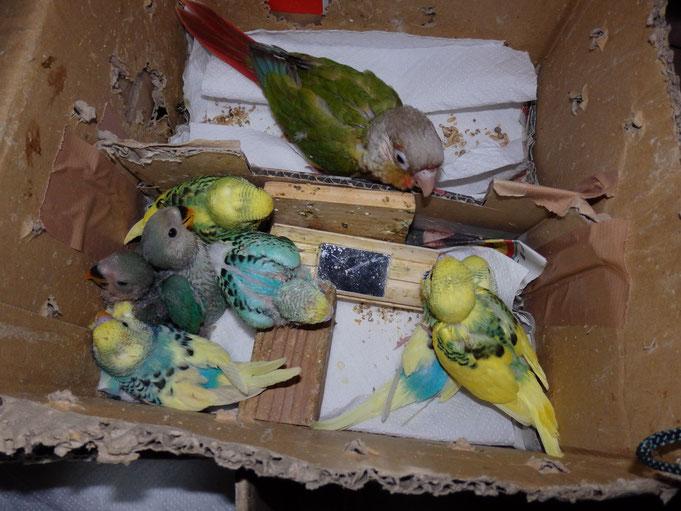 福岡県手乗りインコ小鳥販売店ペットミッキン 手乗りウロコインコ、コザクラインコ セキセイインコのヒナの仲間入りしました。
