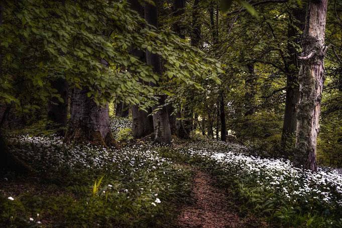 Ein kleiner Pfad, der sich durch den Wald zieht, wird rechts und links mit Bärlauch geschmückt. In der Stille hört man ein harmonisches Vogelgezwitscher. Es gibt einem das Gefühl, als wäre man in einem Märchenwald. Um den Bärlauch nicht zu beschädigen, so