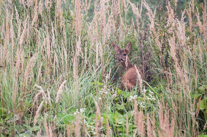 Versteckt aus dem hohen Gräsern schaut mich das Reh an.