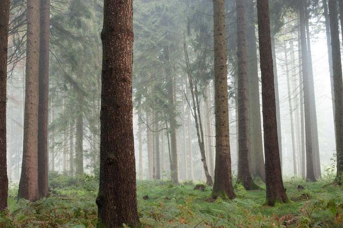 Noch hängt der Morgen Nebel in dichten Schwaden zwischen den Bäumen