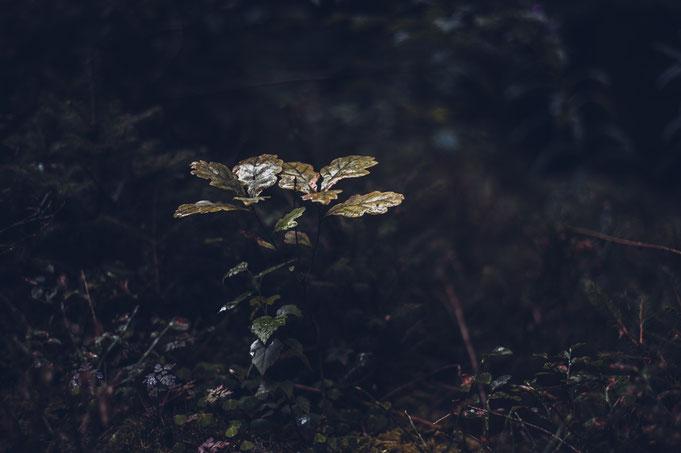 Diese kleine Eiche leuchtete aus der Dunkelheit des Waldes heraus.