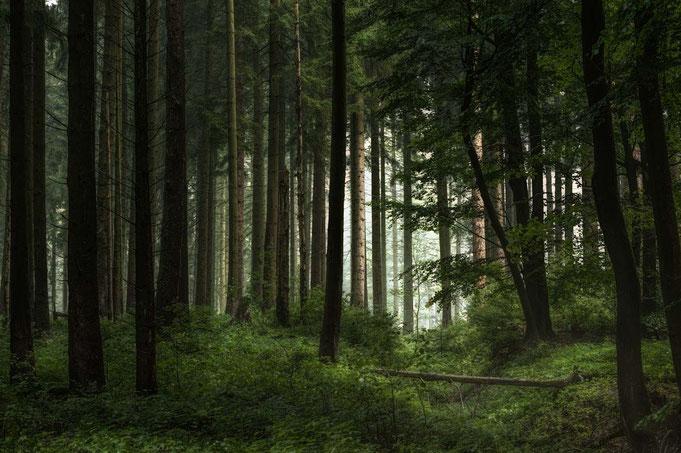 Zögernd durchdringen die ersten Sonnenstrahlen am Morgen den Wald